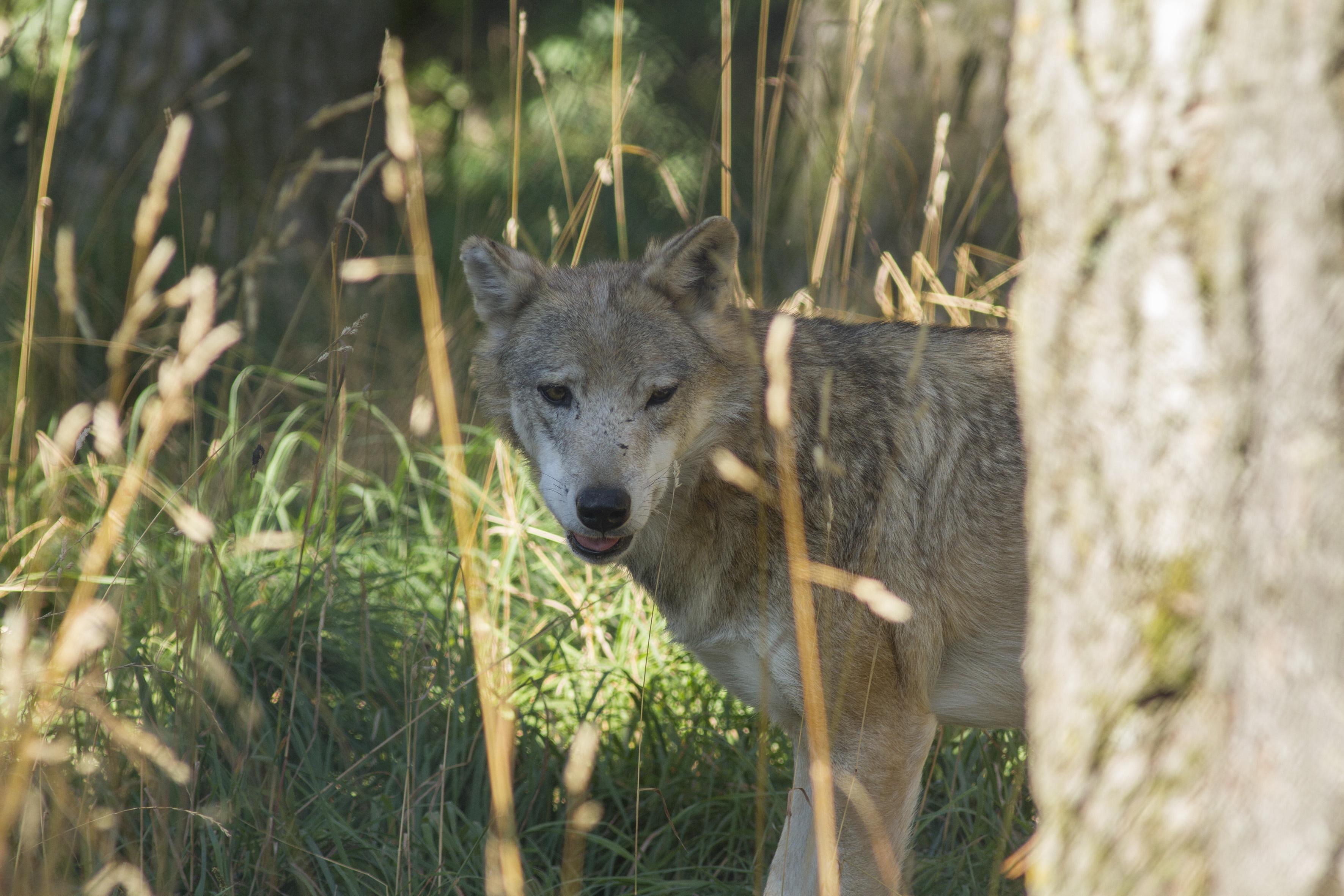 Loup2-Rémi.Collange