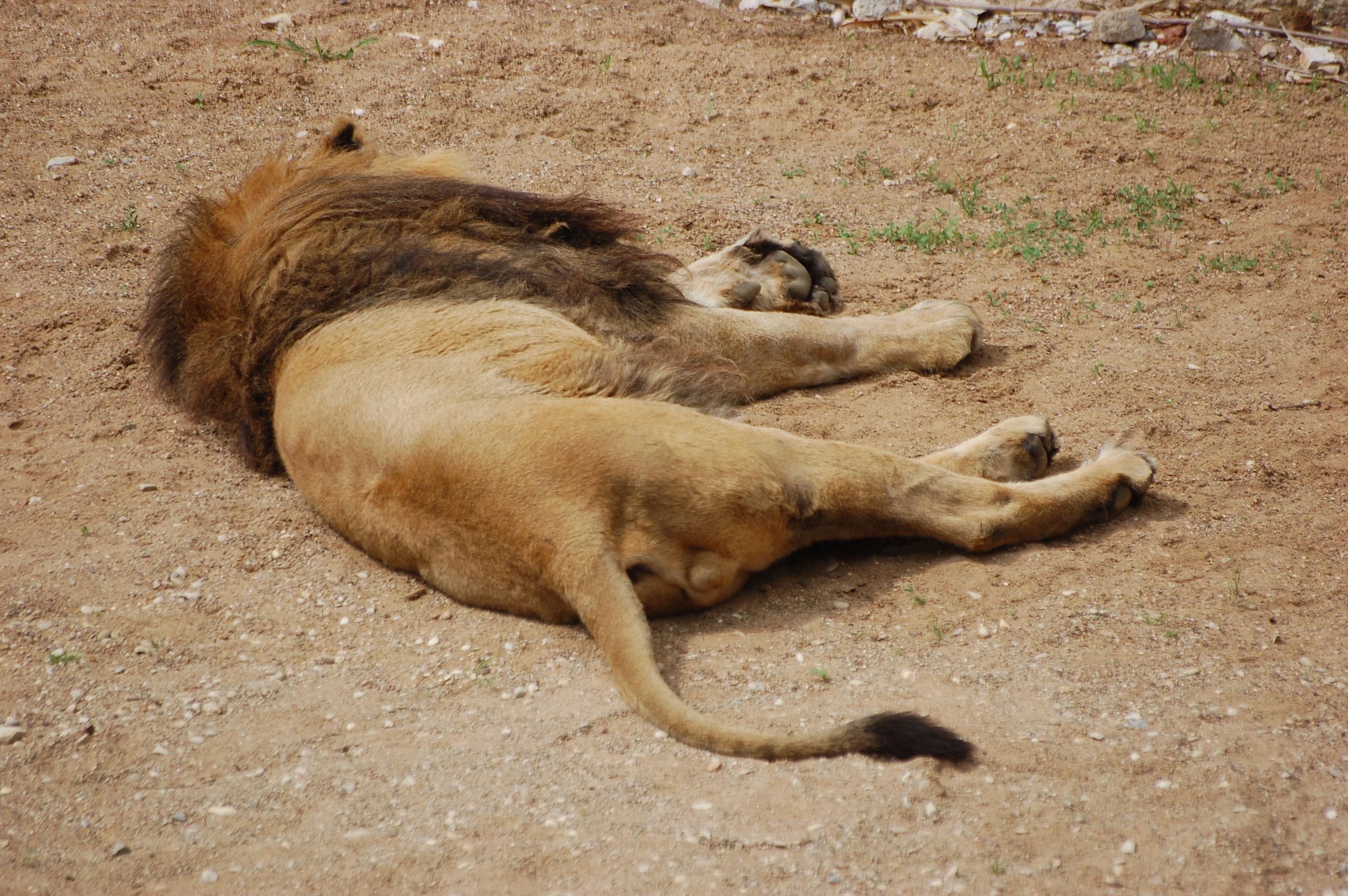 lion d'Asie 2