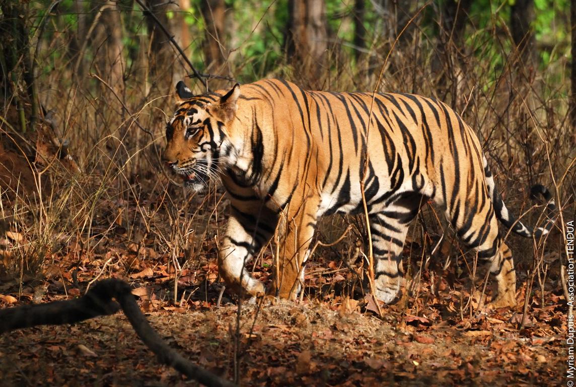 IND-20080506-tigre-1014©MD-bd